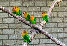 Group of lovebirds close together on a branch, tropical and colorful dwarf parrots from Africa. A group of lovebirds close together on a branch, tropical and royalty free stock image