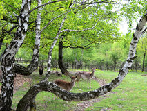 Group of lovely deers and a ram in wilderness. Beautiful group of deers and a ram under the tree looking straight at the camera Stock Photo