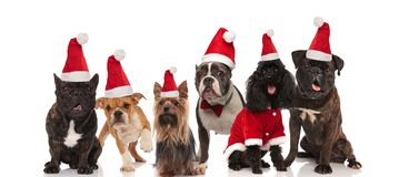 Group of lovely different dogs wearing santa costumes stock photography
