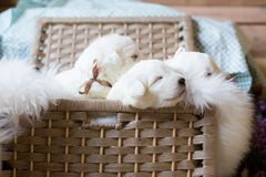 Group of lovely maremma sheepdog puppies with ribbons. Sweet maremmano White puppies sitting in a wicker basket. royalty free stock image