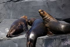 South American Sea Lions or Otaria flavescens in zoo. Group of lovely South American Sea Lions or Otaria flavescens in captivity stock images