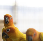 Group of lovely sun conure parrots bird Royalty Free Stock Photography