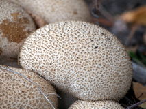 Group of Lycoperdon perlatum - common puffball Royalty Free Stock Image