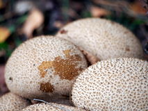 Group of Lycoperdon perlatum - common puffball Stock Image