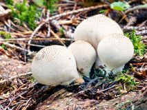 A group of Lycoperdon pyriform on decaying wood Royalty Free Stock Image