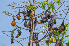 Group of Lyle's flying fox (Pteropus lylei) Royalty Free Stock Image