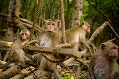 Group of macaque monkeys Royalty Free Stock Images