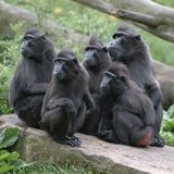 Group of macaques on rock Royalty Free Stock Image