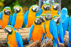 Group of Macaw parrots Royalty Free Stock Photo