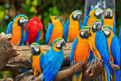 Group of Macaw parrots Royalty Free Stock Photos