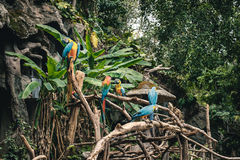 Group of macaw parrots in tropical forest Royalty Free Stock Images