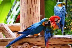 Group of Macaws royalty free stock photography