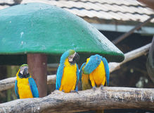 Group of macaws relaxing. Stock Image