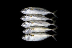 A group of mackerel on black background Royalty Free Stock Photos
