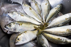 A group of mackerel in circle (Food ingredient) Royalty Free Stock Images