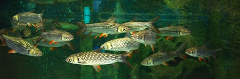 Group Mad carp, Sultan fish Stock Image