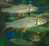 Group Mad carp, Sultan fish Royalty Free Stock Photography