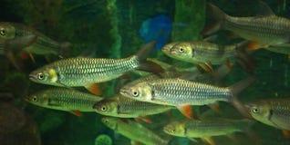 Group Mad carp, Sultan fish Royalty Free Stock Image