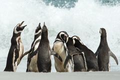 A group of Magellanic penguin gather on a coast of Falkland isla. Nds. Penguin calling and displays his dominance Royalty Free Stock Photo