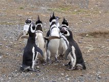 A group of Magellanic Penguin, Spheniscus magellanicus, Isla Magdalena, Patagonia, Chile Royalty Free Stock Image