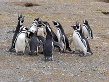 A group of Magellanic Penguin, Spheniscus magellanicus, Isla Magdalena, Patagonia, Chile Royalty Free Stock Photo