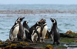 Group of Magellanic penguins standing on a shore. Falkland Islands stock photos
