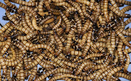 Group of maggots. Having a feast Royalty Free Stock Photo