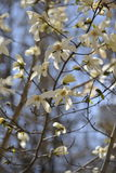 Group of magnolia flowers Royalty Free Stock Photos