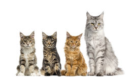 Group of Maine coon in front of a white background Stock Photo