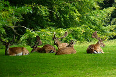 Group of male deer Royalty Free Stock Photos