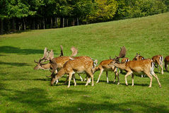 Group of male deer Royalty Free Stock Photo