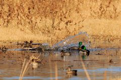 Mallard Ducks. A group of male and female Mallard Ducks frolicking around in the wetlands of the Salt Plains National Wildlife Refuge located in Jet, Oklahoma Royalty Free Stock Photography