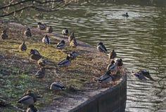 Group male and female mallard ducks rest  at shore. Sofia, Bulgaria Royalty Free Stock Image