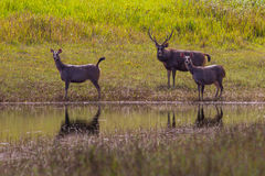 Group of Male and Female Sambar deer. (Rusa unicolor ) in nature at Khaoyai national park, Thailand Stock Photo