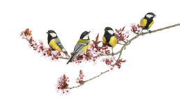 Group of Male great tits, Parus major, isolated. On white royalty free stock images