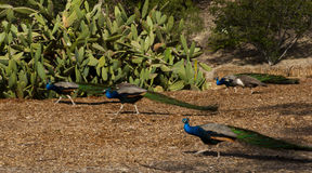 Group of male peacocks Stock Photos