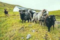 Group of male sheeps with big horn on green grass hill in farm, cloudy weather in Faroe Islands, noth Atlantic ocean, Europe, royalty free stock images