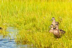 Group of mallard duck walking through sea grass in back bay water of a barrier island. Front view, medium distance of a group of mallard duck walking through sea Stock Photo