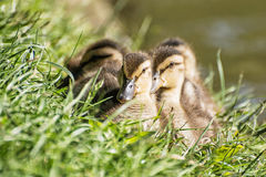 Group of Mallard ducklings – Anas platyrhynchos – resting in. The green grass. Birds scene. Beauty in nature. Young ones. Animal theme Royalty Free Stock Images