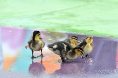 Group of Mallard Ducklings. With colorful water reflections Stock Photography