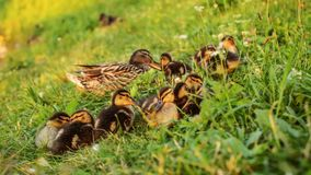 Group of mallard ducklings with mother duck in background, getti. Ng ready to sleep in afternoon sunset light Stock Image