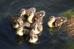 A group of Mallard ducklings swimming close together.  Royalty Free Stock Photography