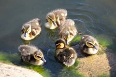 A group of Mallard ducklings swimming near rocks.  Stock Photos