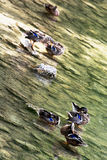 Group of mallard ducks Stock Photo