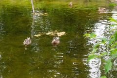 Group of mallard ducks floating on a pond at summer time. Mallard - a bird from the family of ducks detachment of waterfowl. The most famous and common wild Royalty Free Stock Photos