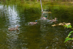Group of mallard ducks floating on a pond at summer time. Mallard - a bird from the family of ducks detachment of waterfowl. The most famous and common wild Stock Photography