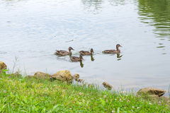 Group of mallard ducks floating on a pond at summer time. Mallard - a bird from the family of ducks detachment of waterfowl. The most famous and common wild Stock Photo