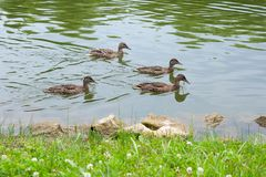 Group of mallard ducks floating on a pond at summer time. Stock Photo
