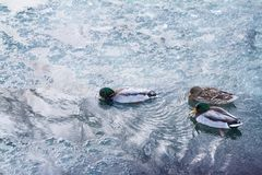 Group of mallard ducks floating on the river on a frosty winter day. Male and female mallard ducks swimming in the river on a cold winter morning Stock Photos