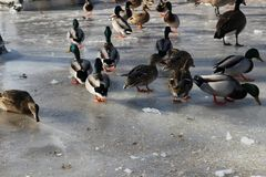 Group of mallard ducks grazing in the winter. A large group of mallard ducks that did not migrate from Canada this winter Royalty Free Stock Image